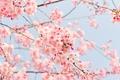 Rosa Kirschblüten vor einem zartblauen Himmel